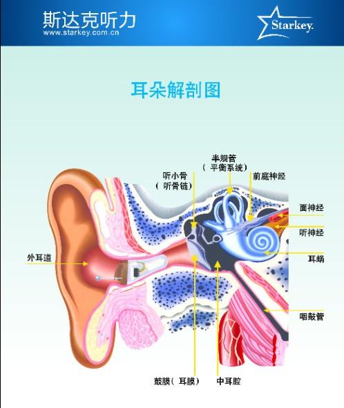耳朵里面结构图片